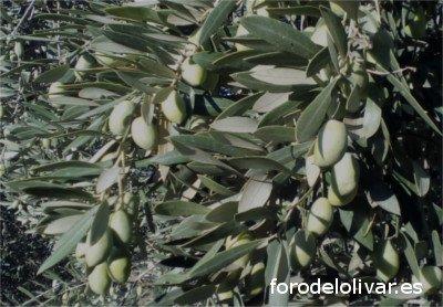Variedad de olivo Pajarero, aceituna gorda