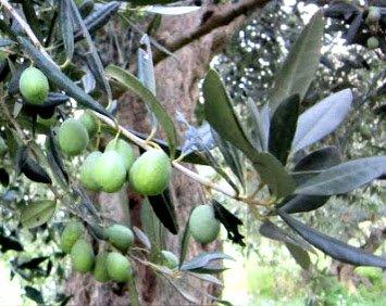 Cerasuola olive tree (Sicily)