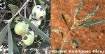 Arañuelo del olivo, piojillo negro