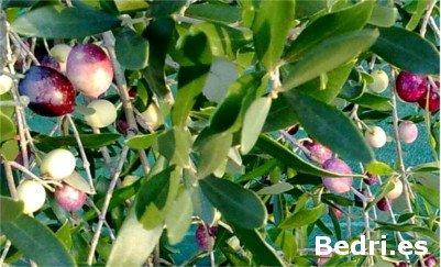 Blanqueta olive tree
