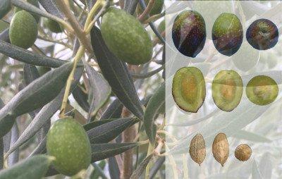 Olivo Alfafara, Aceituna Alfafara, Alfafareña, Alfarenca, olivar alicante