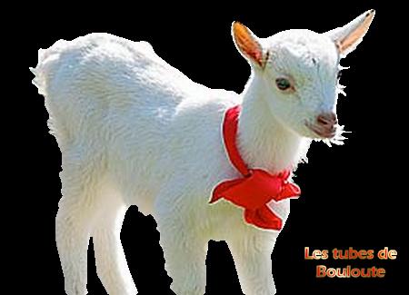 mouton_tiram_1