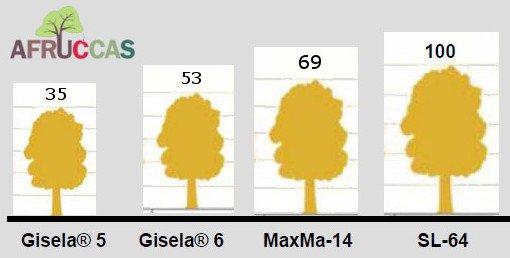 Maxma 14 rootstock