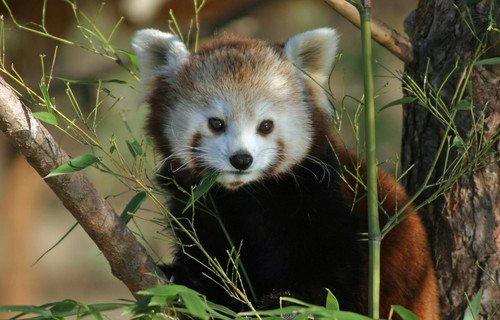 Roter panda 4119 767w