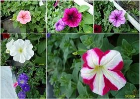 petunia_collage