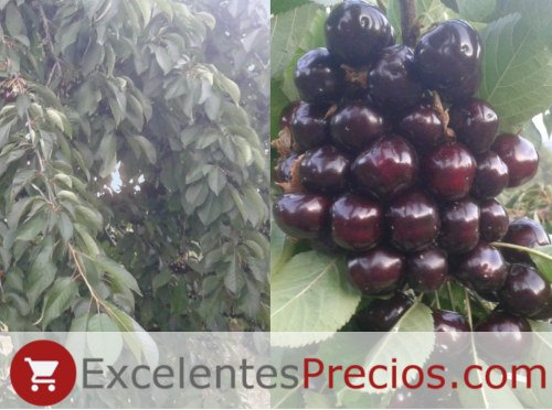 Cherry branch Starking, very productive and weeping tree, Starking cherry, Stark Hardy Giant