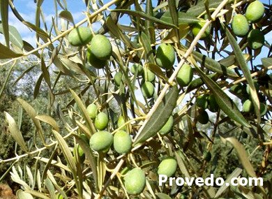 Black olive tree, Variety of Black Olive from Sabiñan
