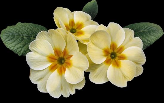 tubes_fleurs_tiram_331