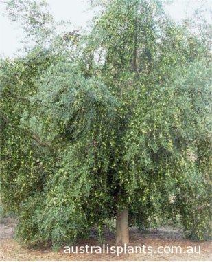 Olive Arbequina, Arbequina olive tree, Arbequina sapling