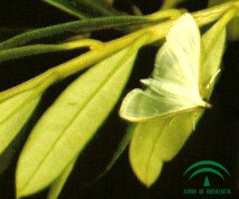 Glifodes olivo adulto Mariposa, foto polilla Glifodes