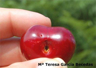 Cereza agusanada, galeria de salida mosca de la fruta de cereza