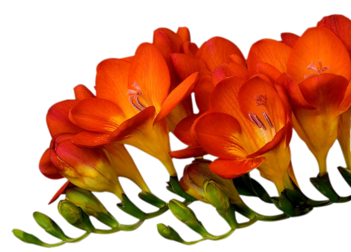 tubes_fleurs_tiram_126