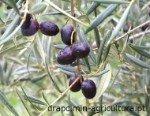 Cobrançosa es una variedad portuguesa dedicada a la obtención de aceite de oliva