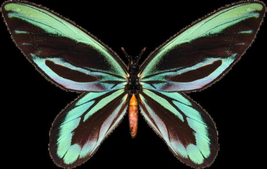 tubes_papillon_tiram_458