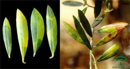 Hojas y rama infectados por repilo plomizo o emplomado del olivo