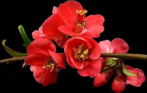 tubes_fleurs_tiram_613