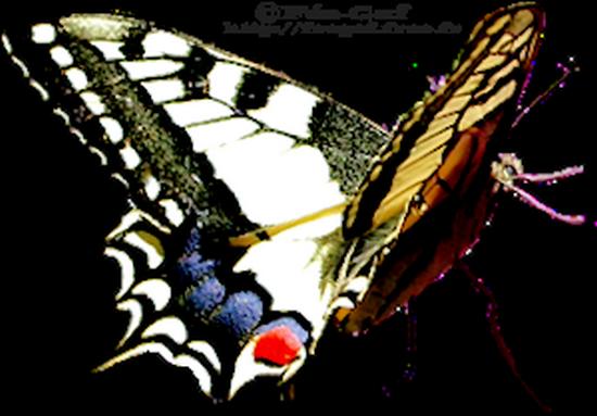 tubes_papillon_tiram_335