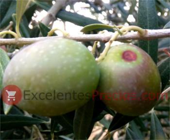 Control del escudete del olivo en aceitunas, tratamientos con cobre