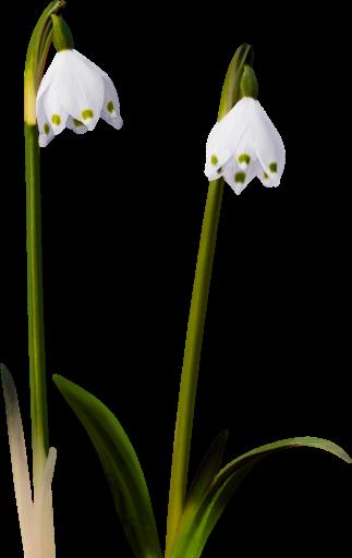 tubes_fleurs_tiram_666