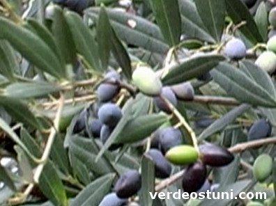 Variedad de olivo Cellina di Nardò