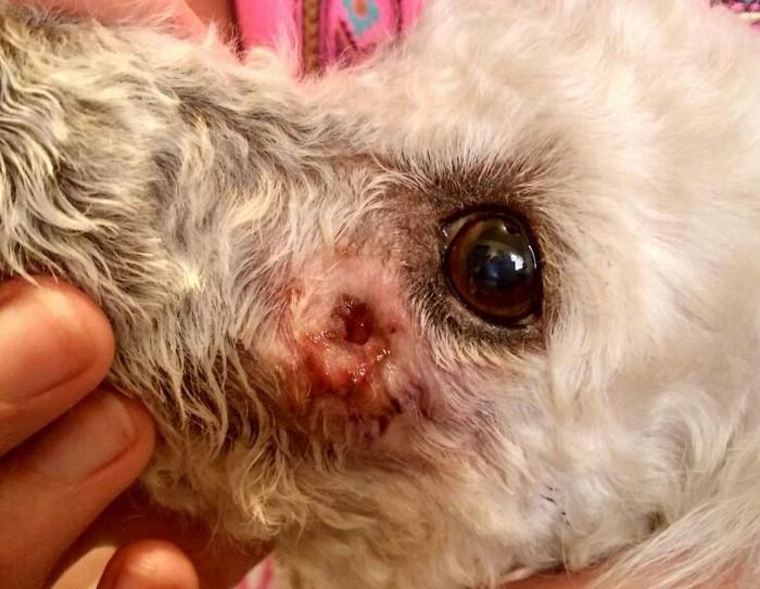 Resultado de imagen de infección muela carnicera perro