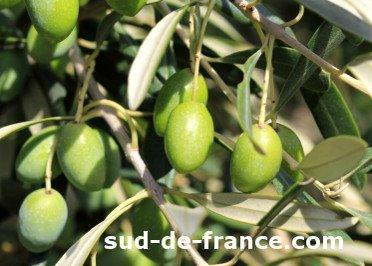 Picholine Languedoc olive tree