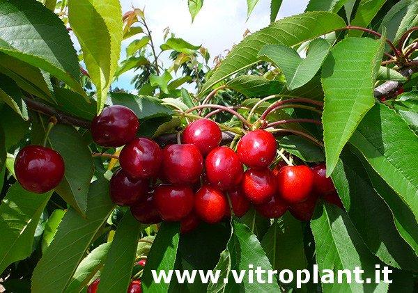 Cerezo Pacific Red, variedad de cereza Pacific Red, cereza temprana, excelente para la exportación