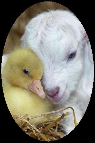 mouton_tiram_12