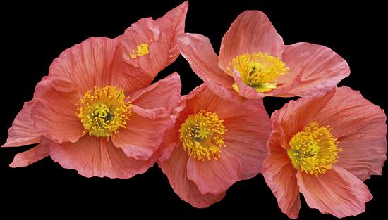 tubes_fleurs_tiram_97