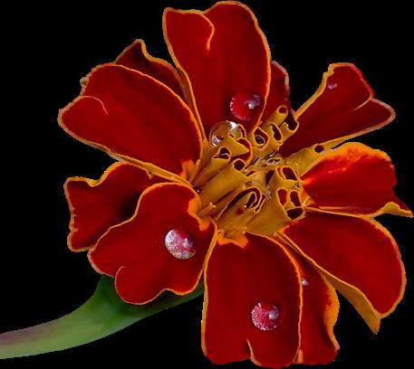 tubes_fleurs_tiram_662