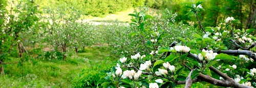 zagorin-florish-apple-trees-22