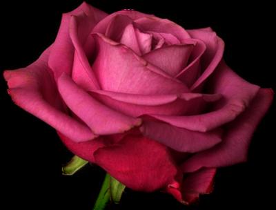 tubes_fleurs_saint_valentin_tiram_283