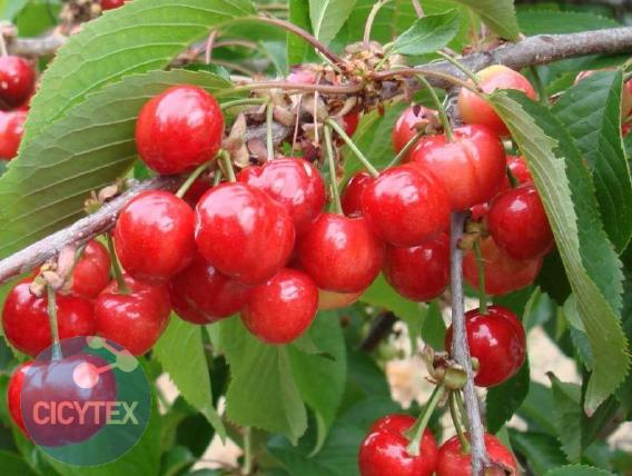 Variedad de Cereza Early Lory. Cereza Rivedel, Earlise