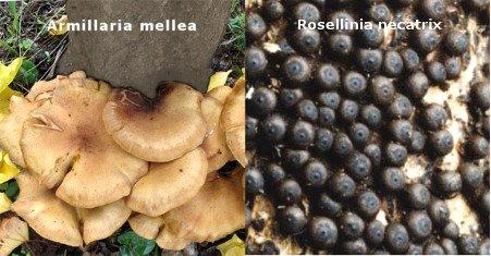 Hongos del olivo Armillaria mellea y Rosellinia necatrixm, asfixia radicular, hongos en el tronco del olivo