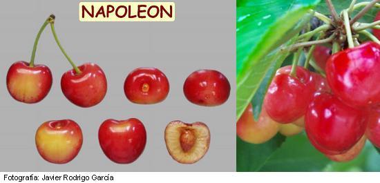 cereza Napoleon, variedad de cereza tardía Napoleon