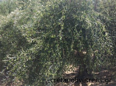 Koroneiki Olive Tree Oil Olives And