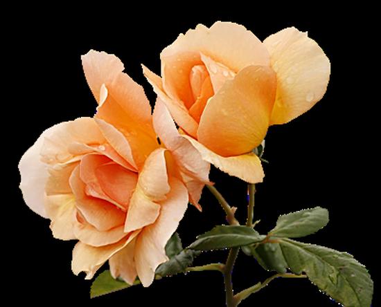 tubes_fleurs_tiram_247