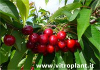 Types of cherry: Pacific Red