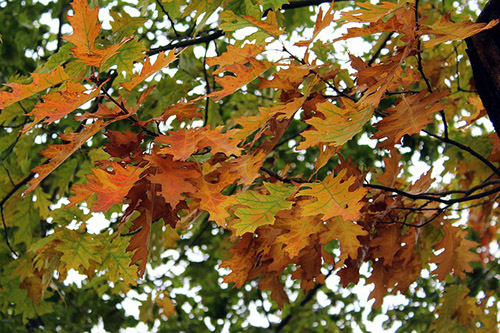 The distinctive leaves of the oak tree make it easy to identify.