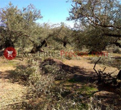 Cuidados del olivo, Poda del olivo, podar olivos centenarios, poda olivar tradicional, poda de renovación olivo, olivos viejos en producción