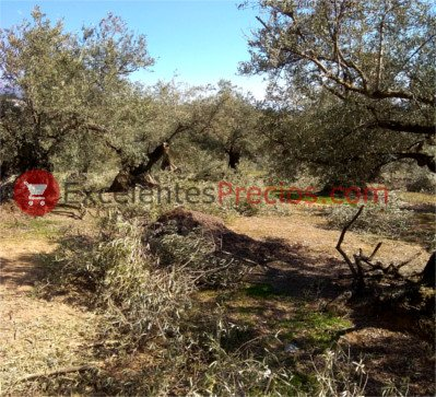 Olive tree care, Care of the olive tree, Pruning of the olive tree, pruning centuries-old olive trees, traditional olive pruning, pruning olive trees, old olive trees in production