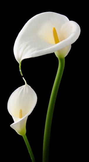 tubes_fleurs_tiram_503