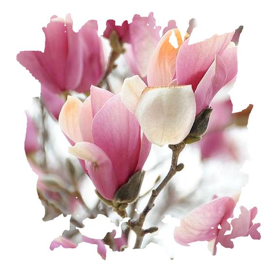 tubes_fleurs_tiram_338