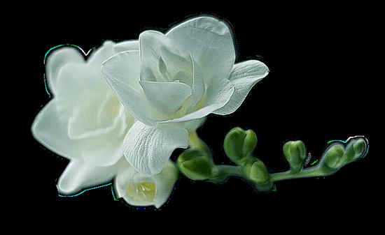 tubes_fleurs_tiram_487