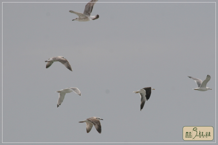 Мартин чорнокрилий (Larus fuscus)