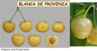 Tipos de cereza: Blanca de Provenza