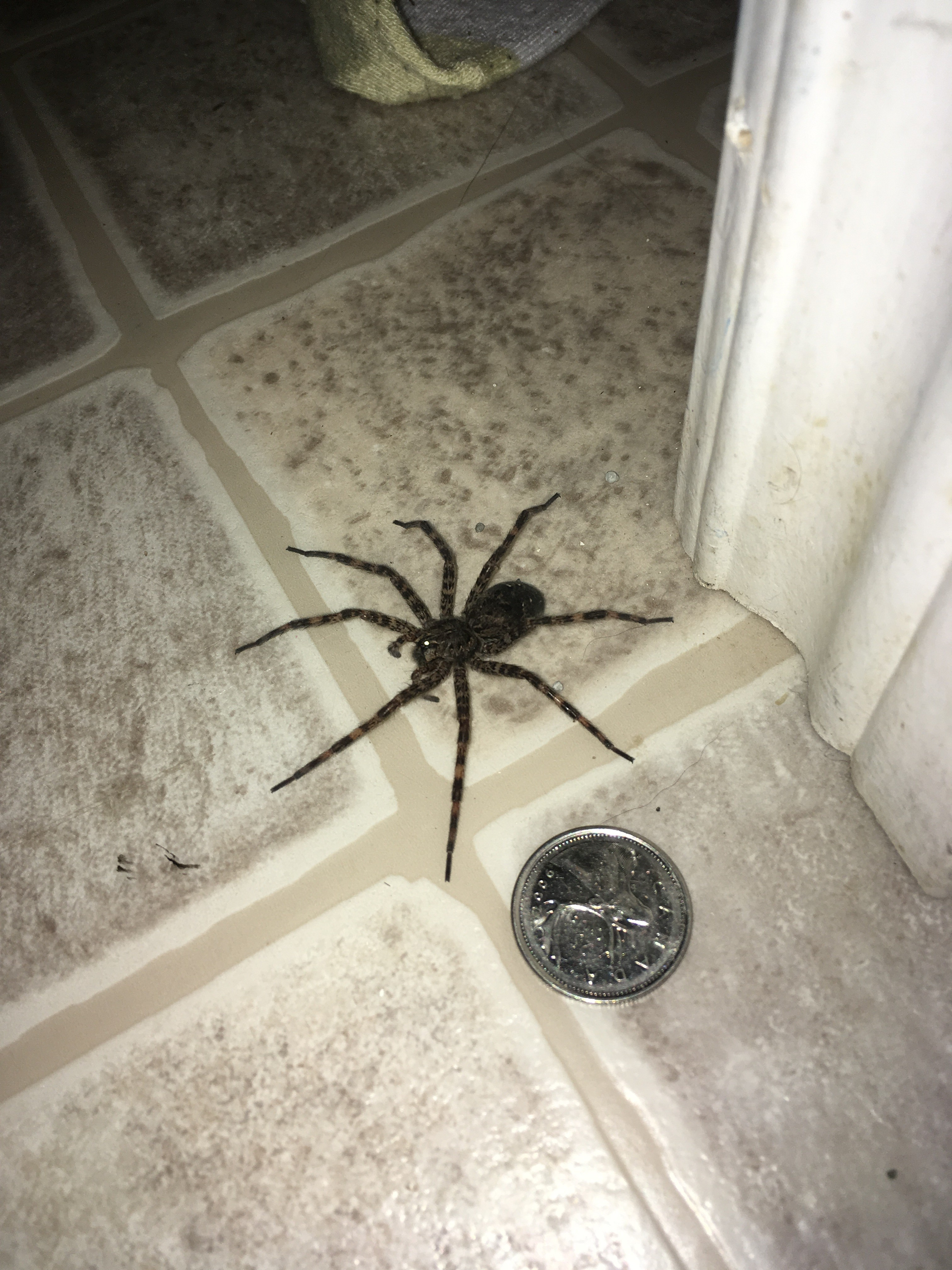 Nova scotia big spider next to a quarter spiders for How can i stop spiders from coming in my house