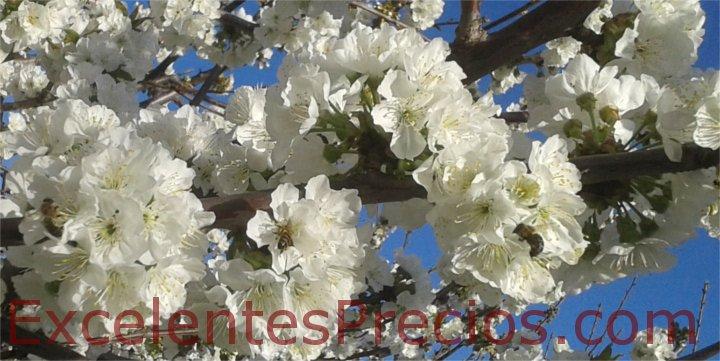 Plantacion de cerezos floración
