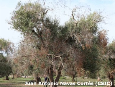 Olivo infectado por Xylella fastidiosa, hojas secas