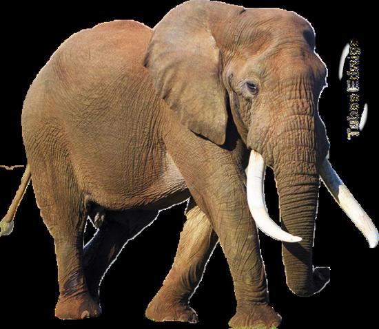 tubes_elephants_tiram_649